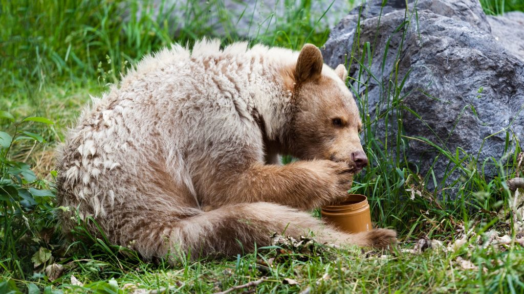 do bears eat honey